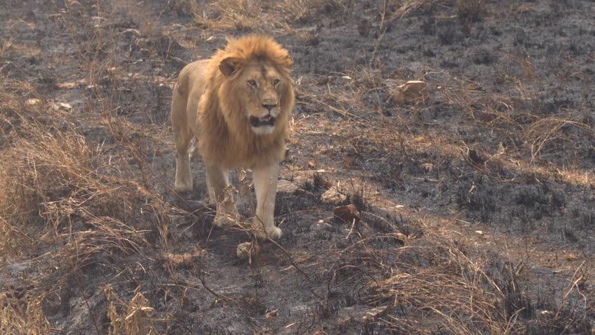 CLOSE UP: Beautiful magnificent lion walking slowly on burnt savannah grassland field in breath-taking Serengeti national park. Safari lion rambling in wilderness on sunny golden light evening