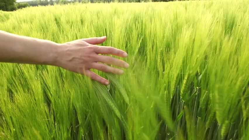 slowmotion hands touching wheat during spring