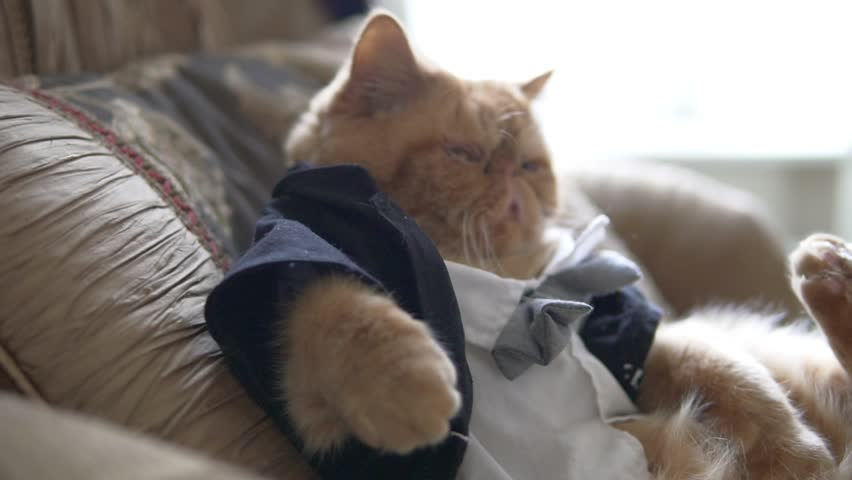 Persian cat in the suit with bow tie and jacket sits on sofa like a boss.