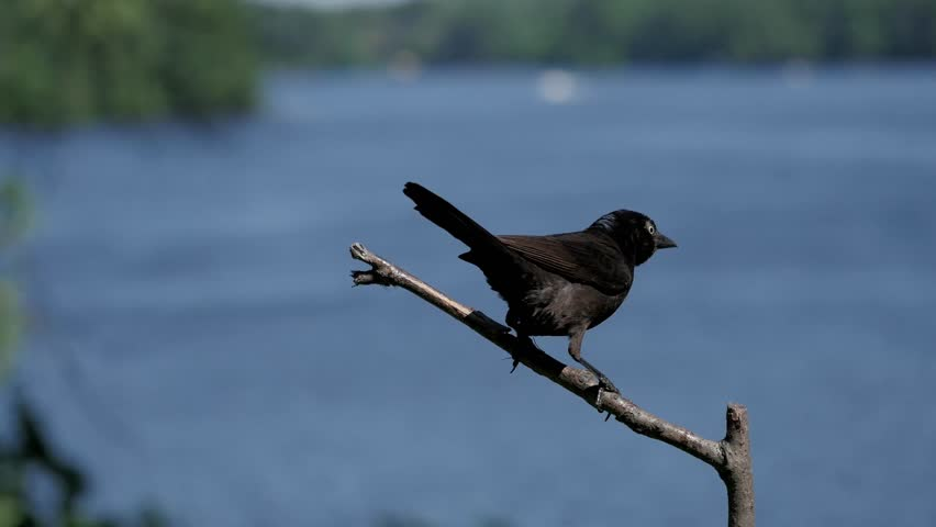 Common Grackle Life History All About Birds Cornell Lab