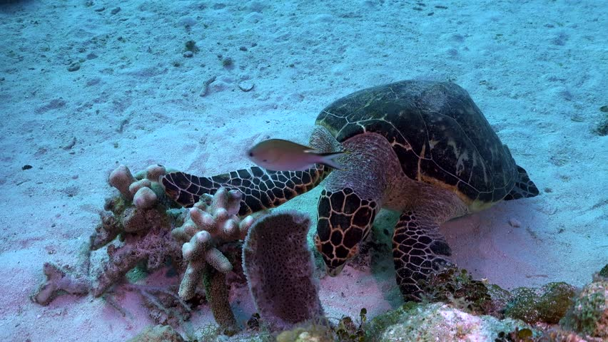 Sea Turtle Grazing on corals in the ocean, ever so peaceful and graceful, they are the most majestic animals in the sea.
