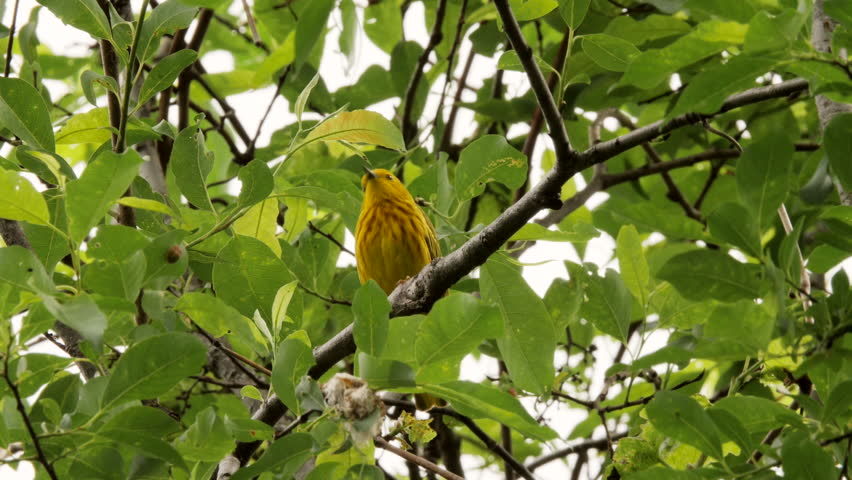Header of American Yellow Warbler
