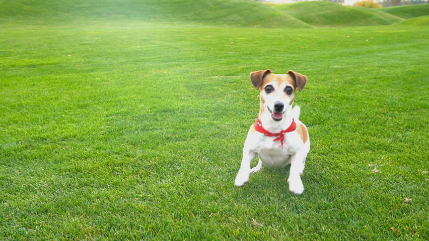Adorable small dog Jack Russell terrier dancing  jumping want to  play. excited impatience. Active crazy friend pet running for the blue disk toy. seamless endless looped video | Shutterstock HD Video #22953046