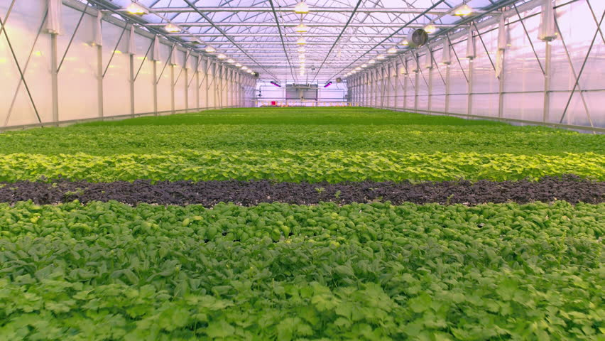Aerial - Low flight above herb cultivation (red basil, green basil, chives, parsley, swiss chard, mint, spinach and coriander) in greenhouse