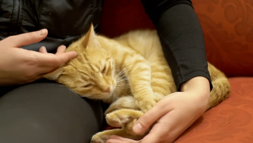 Woman Stroking a Red Cat Lying on the Couch. The cat lies on the upholstered furniture in the house and playing with the girl. Red-haired cat on the lap of a man.