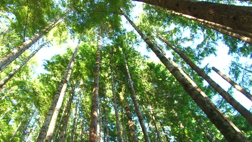 Camera spinning low angle shot through lush, Pacific Northwest forest showing tall, old growth trees.