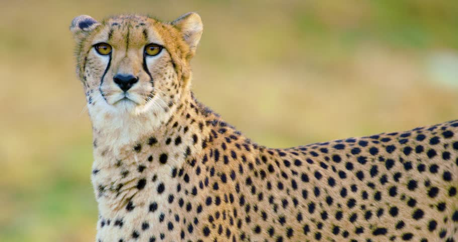 Close-up of adult cheetah walking in the grass