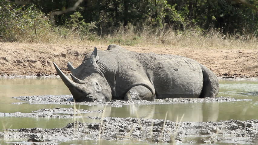 Adult white rhino lying in the mud