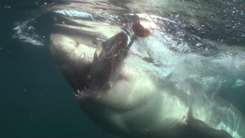 White shark going for and grabbing the bait right in front of the cage close in. Footage taken at Seal Island, False Bay, Simonstown, South Africa.