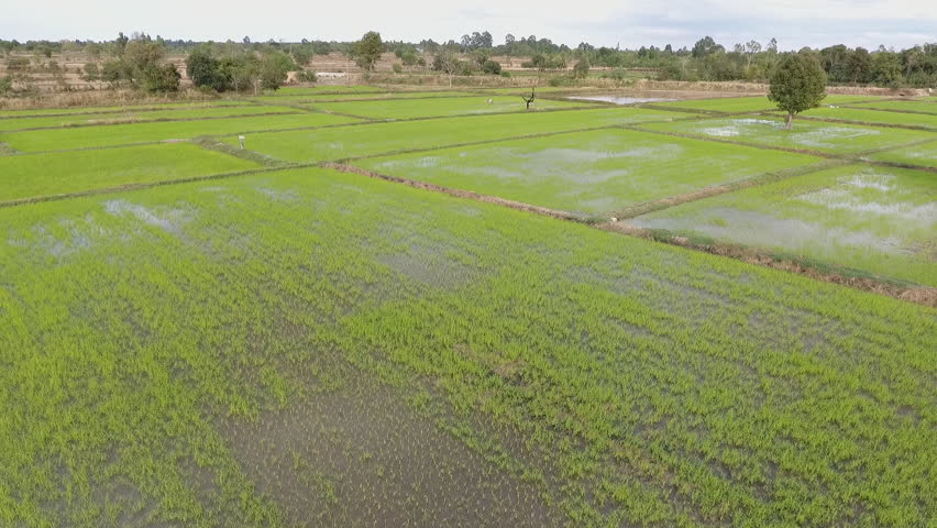 rice fields in asian. Footage recorder from drone in full HD resolution