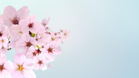 cherry blossom,blooming,blue background