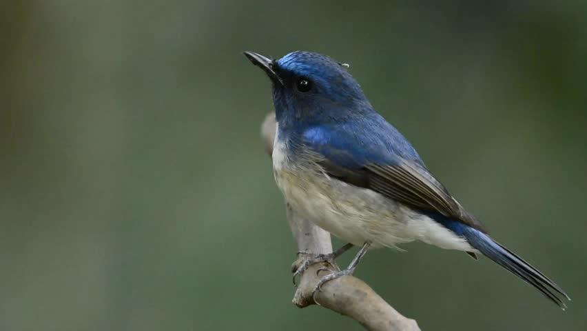 Hainan blue flycatcher (Cyornis hainanus) beautiful blue bird perching on the branch