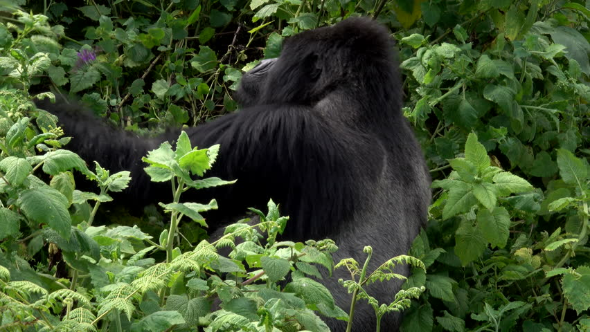 endangered species family western lowland gorilla an endangered species stock footage video