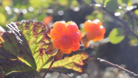 Cloudberry in the mountains. Urals, July. Alone 2.