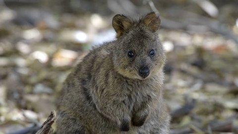 Quokka Wildlife on Rottnest Island, Western Australia. Quokka (Setonix brachyurus), dwarf kangaroo or short-tail kangaroo.