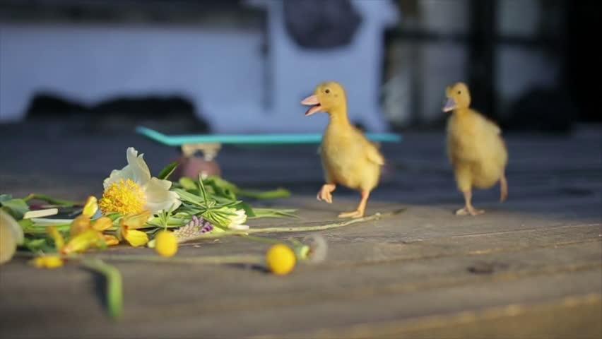 two teeny yellow duckligs walking in flowers