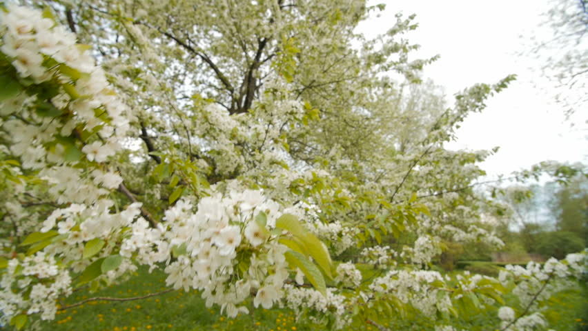 Stock video of beautiful big tree with white flowers | 23502685 ...