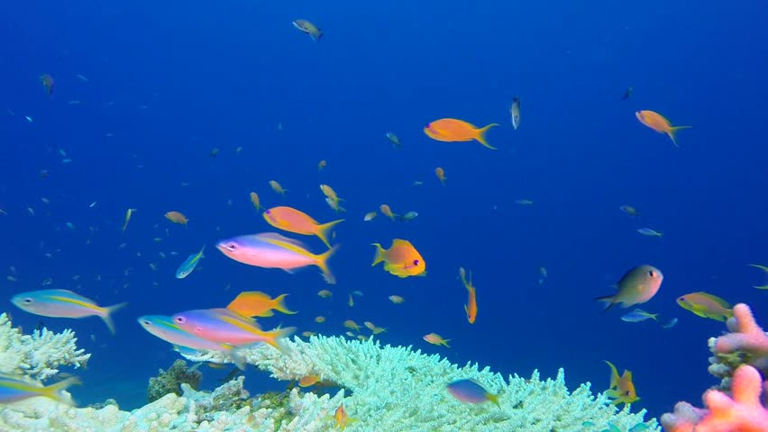 Goldband fusilier, scalefin anthias fish, threespot dascyllus fish and table corals in the tropical reef of the Red Sea, Dahab, Egypt.