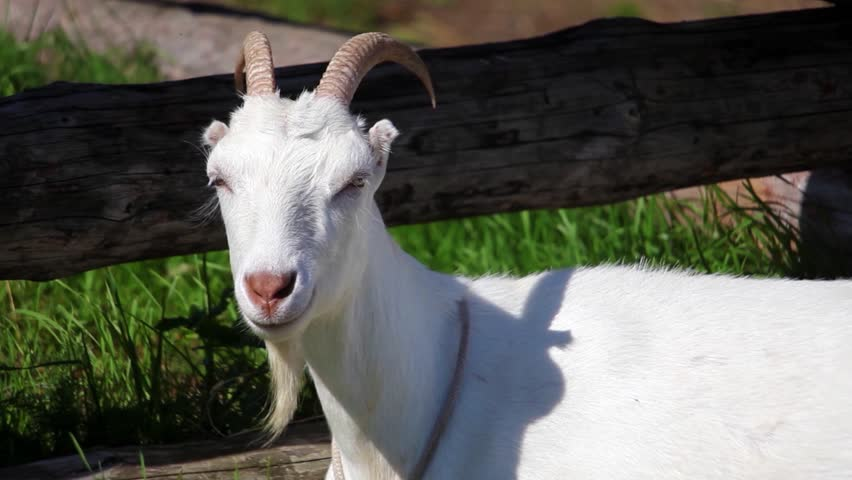 White domestic goat on the farm