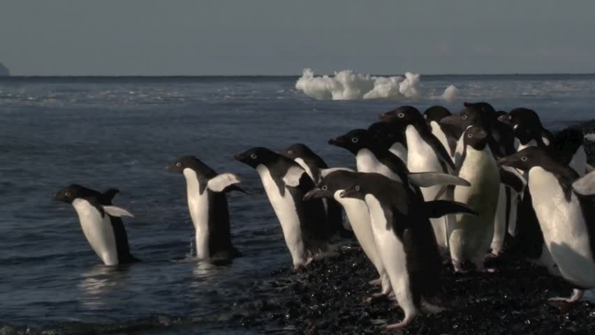 Adelie Penguins hesitate to go in the water of the Ross sea