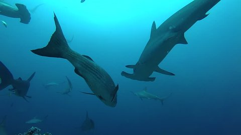 School of hammerhead sharks swimming in the blue - underwater shot