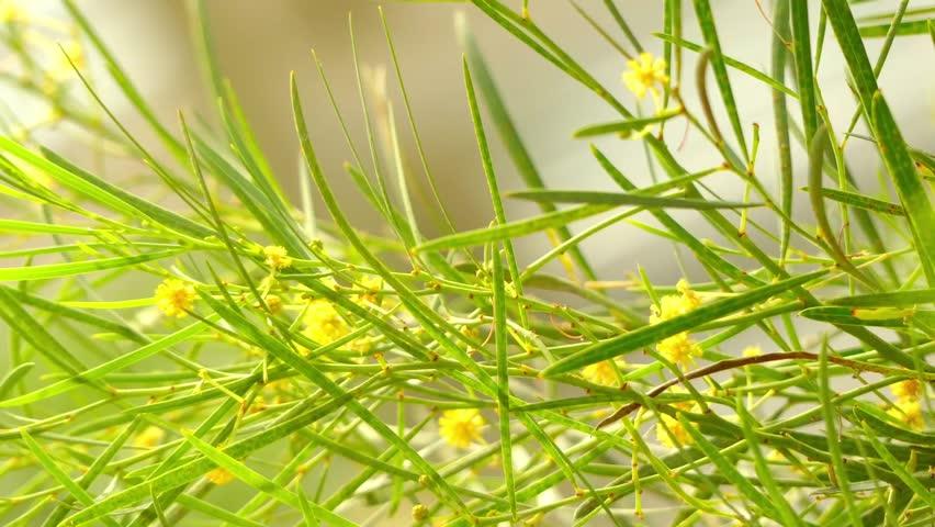 Header of Acacia iteaphylla