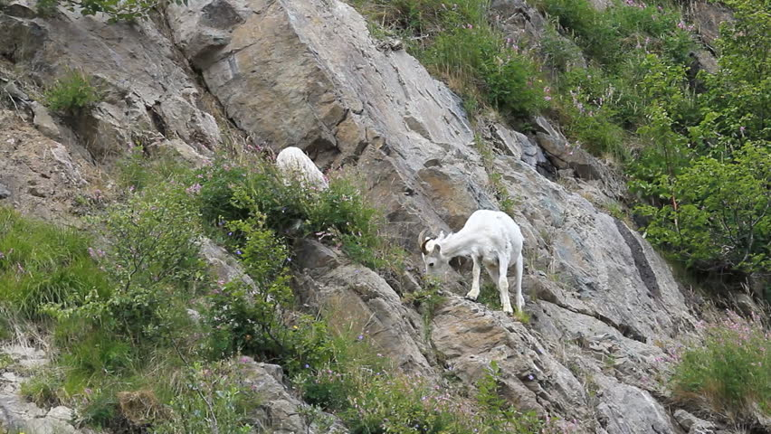 Dall sheep, female mother ewe on steep rocky mountain cliff and ledges near Anchorage Alaska.