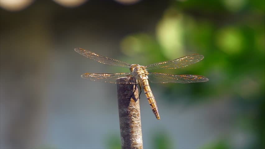 Dragonfly with Crystal Gold Wings Stock Footage Video (100% Royalty-free)  23763745 | Shutterstock