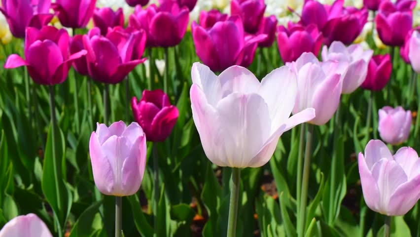 Light and bright pink tulips flowers. Beautiful spring flowering. Sunny day. | Shutterstock HD Video #23782735