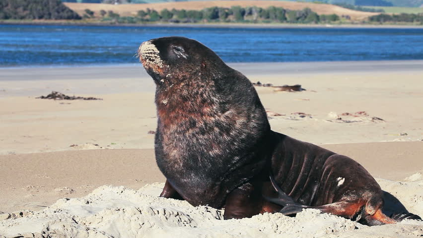New Zealand sea lion woke up and yawns in the morning on the shore