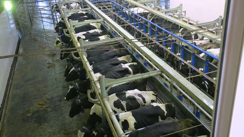 Automated milking of cows at a farm.