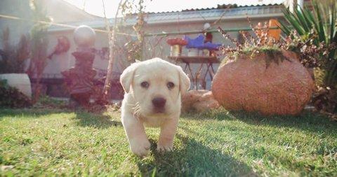 puppy labrador retriever in the farm yard for a walk on a Sunny day,dog slow motion running