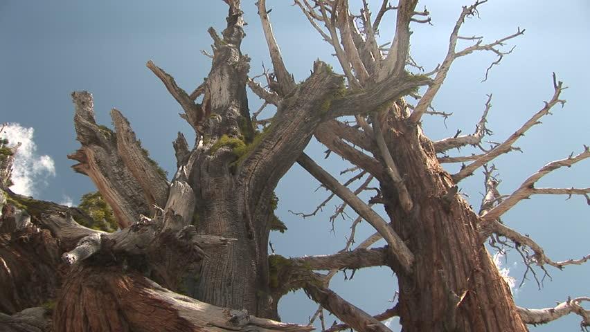 Bristlecone Pine, Yosemite National Park, California, pan. Format: NTSC HDV Compression: MotionJPEG-A Camera: Sony HVR-Z1U Size: 1080i (1920 x 1080) Sound: No