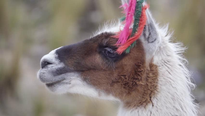 Portrait of a llama wearing yarn decorations on their ears, Peruvian Andean. | Shutterstock HD Video #23915485