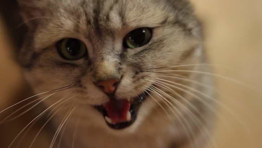 fat meow cat
