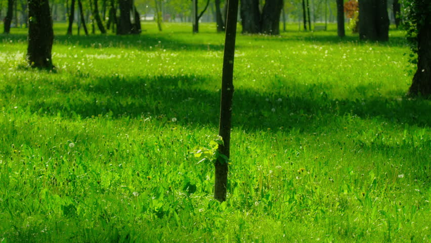 Sapling in the park, Zagreb capital of Croatia. Spring (or summer) snow in the air - from Populus tremula tree