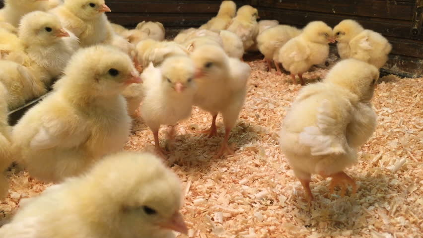 Lot of small chicks wonder camera and chirp. Chicken Farm. Closeup Chicks In Cage. Crazy chicken. Many cute yellow chickens alive in the hen house.