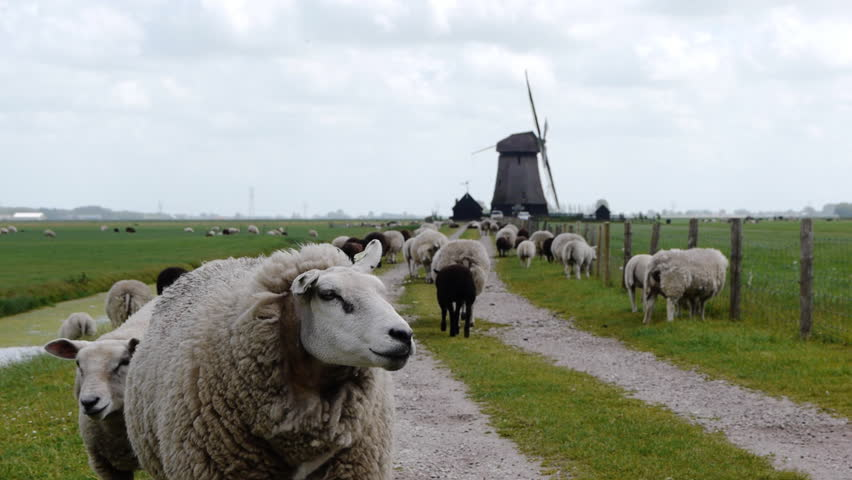 Dutch wind mill with sheep