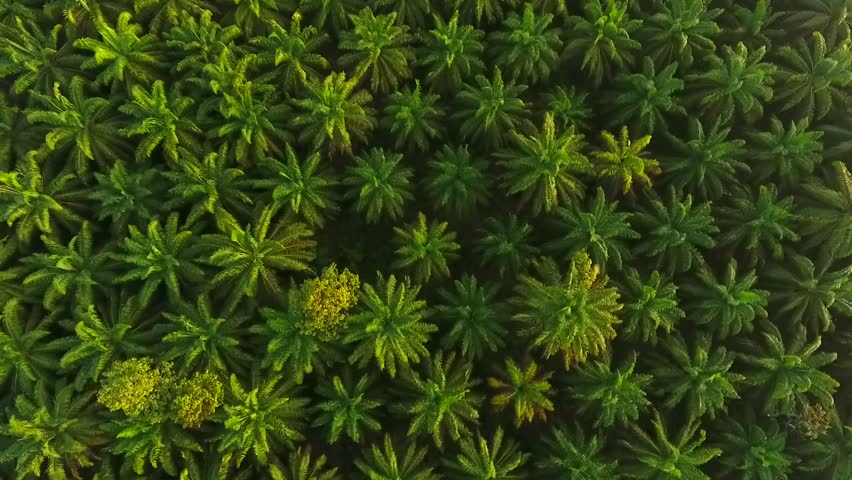 AERIAL: Palm Oil Tree Plantation view from above. HD. Krabi, Thailand.