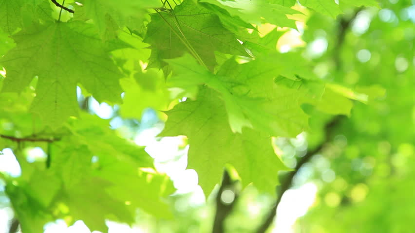 Green leaves.