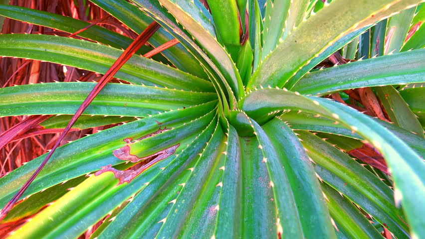 Close-up of pandanus tree (screw palm) slightly swaying in wind. Trembling green leaves of exotic plant with spikes. Detailed beauty of tropical shrub growing near shoreline. Camera stays still. | Shutterstock HD Video #24273995