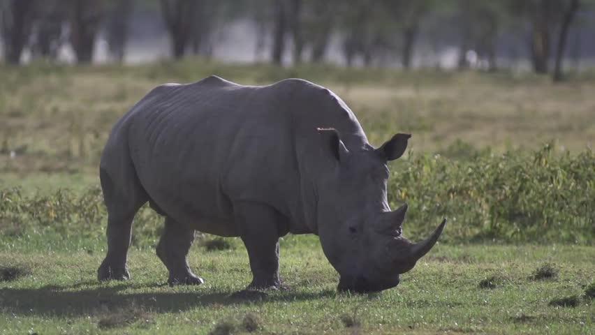White rhino walking and eating in Lake Nakuru, Kenya.  Shot in super slow motion at 240 fps