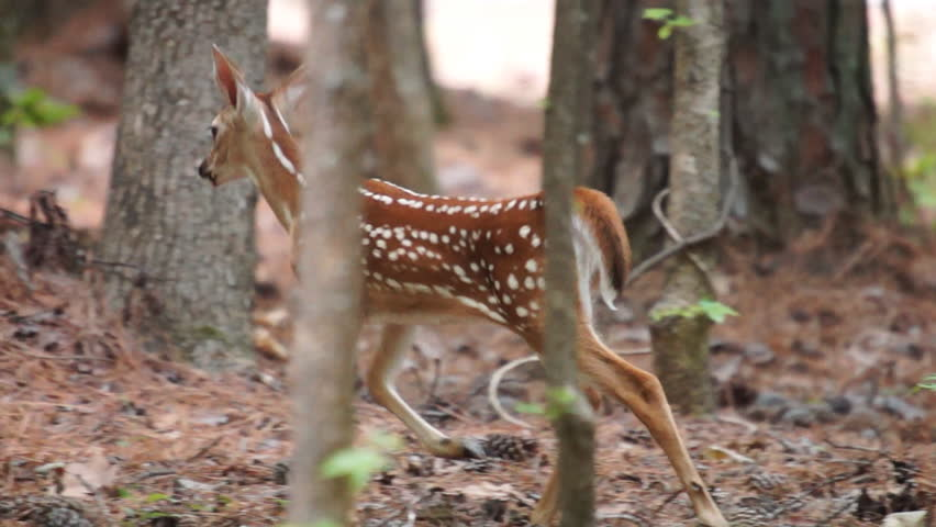 Whitetail Deer fawn in June