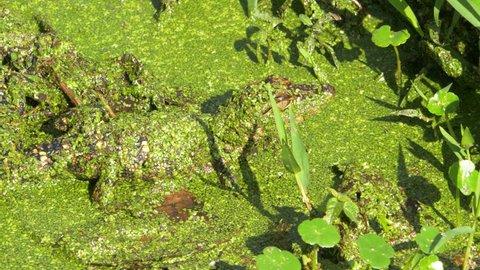 Pan Left on Two Baby Alligators Sitting on Log, 4K