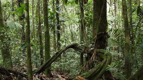 Walking through lianas in rainforest, Ecuador
