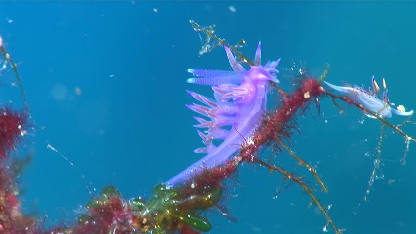 nudibranch flabellina nudi branch nudybranch  underwater slug
