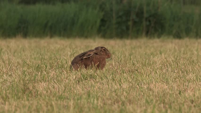 Hare eating grass - wildlife