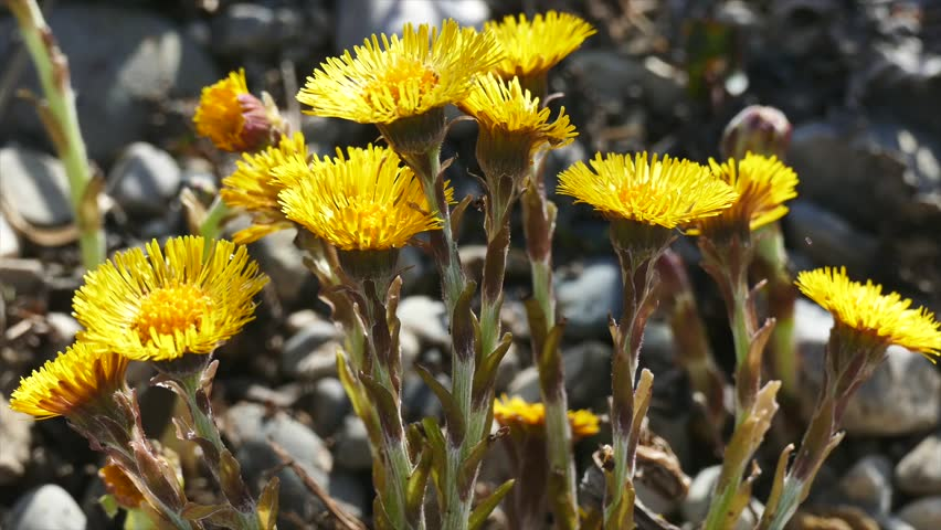 Yellow Wild Flower, Coltsfoot (Tussilago farfara)