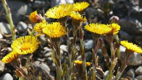 Yellow Wild Flower, Coltsfoot (Tussilago farfara)