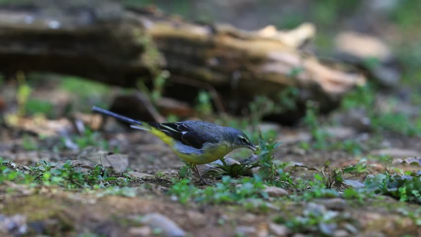 Beautiful of The Grey Wagtail Bird, standing and dancing on the log showing its side profile in nature of Thailand, Winter Visitor   Shutterstock HD Video #24521822